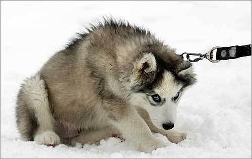 This husky sled-dog puppy sat in the snow in Chulkovo, Russia.