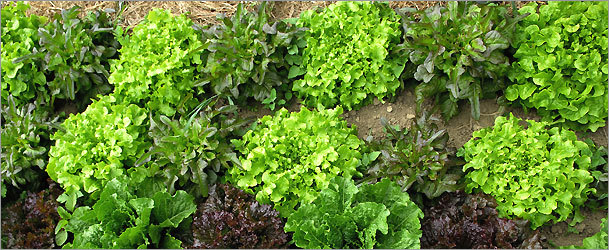 Delight in the harvest of spring planted lettuce