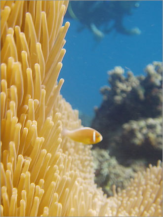 Scuba diving on the Great Barrier Reef, near Cairns, Australia in June, 2004, Nicole Dufour snapped this shot of a clown fish.