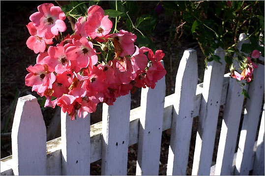 Roses hang over a picket fence.