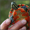 photos of hatchling turtles and migrating herring by Joanne Rathe and George Rizer