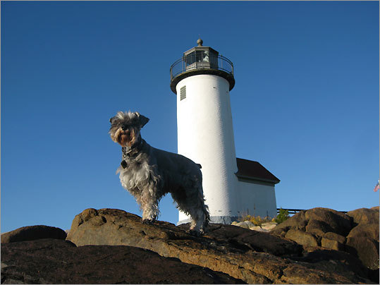 Oscar, a mini-schnauzer, at Annisquam Light, Gloucester.
