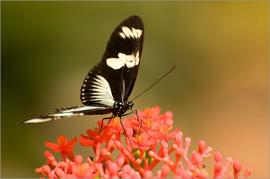 The ship visits Casa Orquidea, a private botanical garden in Golfo Dulce that's run by Ron McAllister, originally of Laconia, N.H., and his wife Trudy, from Tennessee. Zebra Heliconian butterflies can be seen in the garden.