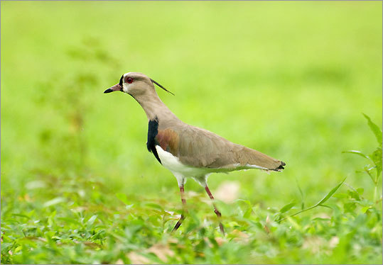 A southern lapwing in Portobelo.
