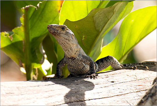 This national park in Costa Rica has beautiful white-sand beaches and an excellent trail network that leads visitors through the tropical rainforest. While on the trail, visitors can spot tropical wildlife like iguanas.