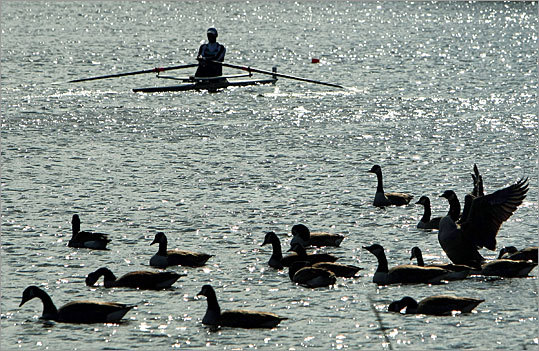 A rower passes a group of geese on the Charles River.