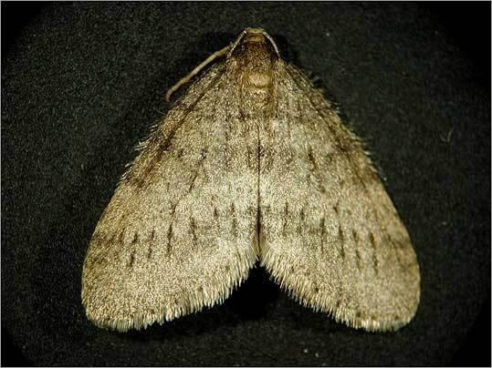 The winter moth (above) can't be blamed for gypsy-moth ravaged oak leaves, but the cure for the infestation could be similar.