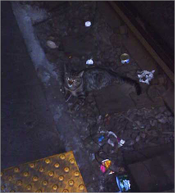 Last summer, a young tabby cat was spotted roaming the tracks in Kenmore Station. &#147;He was a little kitten hiding by the rubber under the rails,&#146;&#146; said T trolley operator Karen Ingraham. &#147;We don&#146;t know how he got down there. We tried so many times to rescue him, but he would run away and hide.&#146;&#146; Passengers on the Green Line began noticing the young cat, and snapping photos like this one, taken by Leah Rodriguez.