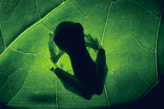 A glass frog at Monteverde Cloud Forest Reserve in Costa Rica, a species that is more or less and inch in size.