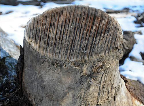 "One of many tree stumps scattered throughout the forest. ""I don't call it forestry, I call [the North Quabbin clear-cuts] bad work,'' said Bruce Spencer, who retired after 41 years as chief forester at the Quabbin."