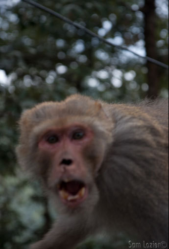 A monkey attack in Dharamsala.