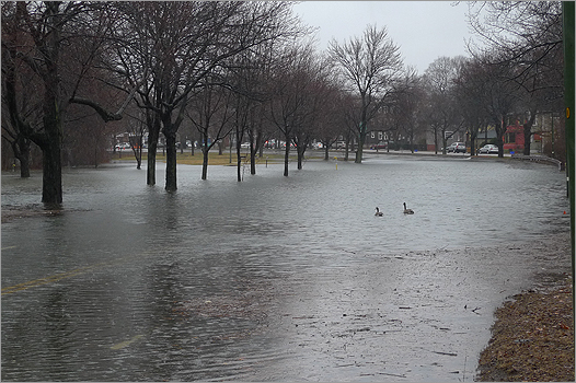 Geese floated on the water above the submerged northbound lane of Alewife Brook Parkway between Massachusetts Avenue and Route 2.
