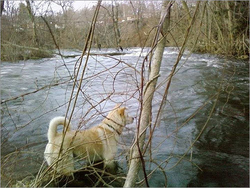 Brandi was on a beaver hunt at the Spickett River in Methuen on Tuesday morning.
