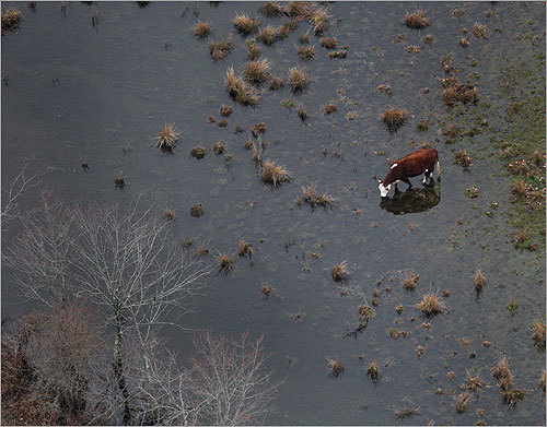 A cow grazed on a flooded field on a farm by Route 16 in Wellesley.