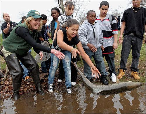 Restocking jamaica pond for Mass fish stocking