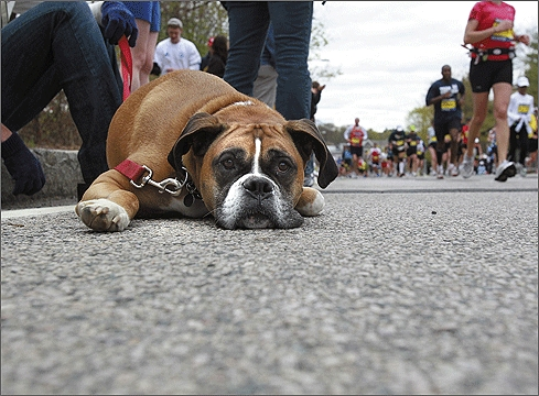 Though not in costume, Payton, owned by Randi Potash of Peabody, stuck out in the crowd of bipeds today as he watched on Washington Street in Newton.