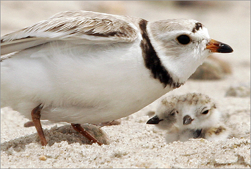 "February 2005: The US Environmental Protection Agency declared the Army Corps review ""inadequate"" and demanded more environmental information. Piping plover chicks with an adult piping plover on Sandy Neck Beach in Barnstable in June 2007. Cape Wind opponents have claimed that the project will harm birds and other wildlife."