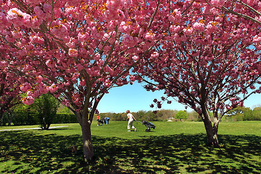 Flowering cherry trees frame a golfer on the Seaside Links course.