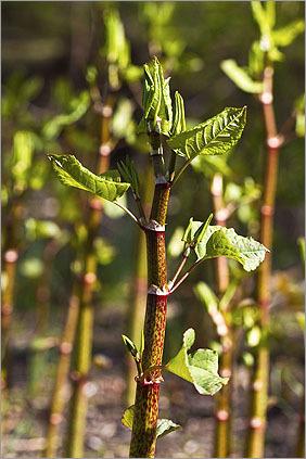A close-up of Japanese knotweed (Polygonum cuspidatum).