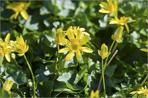 Lesser celandine (Ranunculus ficaria).