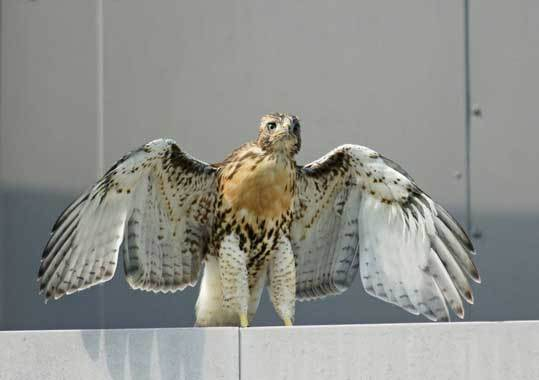 Two adult red-tailed hawks and their three chicks have called a building at 185 Fresh Pond Parkway home for more than three months. The dad is known as 'Buzz' and the mother is 'Ruby.' The three chicks -- growing fast -- are called 'Lucy,' 'Larry,' and 'Lucky' by the crowd of photographers who have documented their every move. Have more photos of the family to share? Upload them to our gallery . Pictured here is Larry. Photo by Joan Chasan of Framingham.