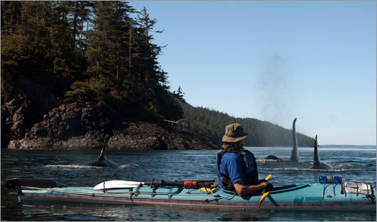Orcas pass by a kayaker in the Johnstone Strait. Paddlers are required to stay at least 300 feet from the killer whales, but the orcas often change their course and pass even closer to kayakers.