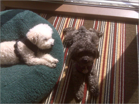 Spike and Ellie-Belle of Framingham on vacation at the Inn by the Sea in Cape Elizabeth Maine.