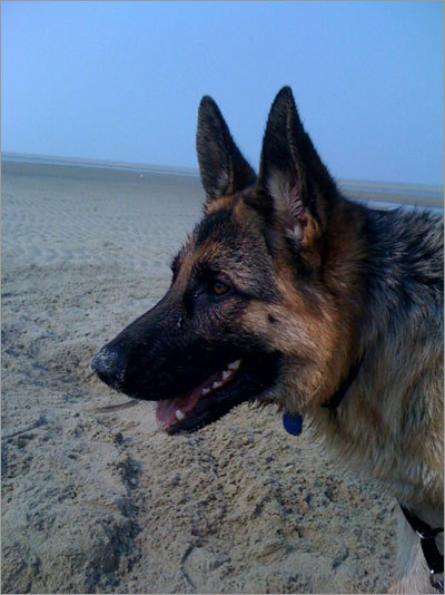 Marc, a German Shepherd, at a campground beach in Eastham during Memorial Day weekend.