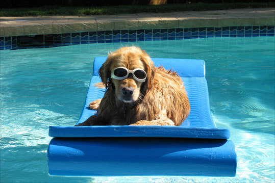 Hogan shows off his new 'doggle' goggles in his backyard pool in Peabody during the fourth of July weekend.