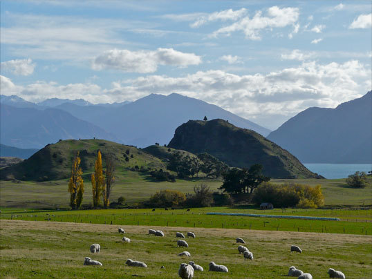 Sheep grazing in a meadow overlooking Lake Wanaka in the mountains of New Zealand's South Island.