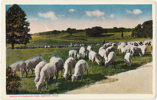 Sheep grazing at Franklin Park.