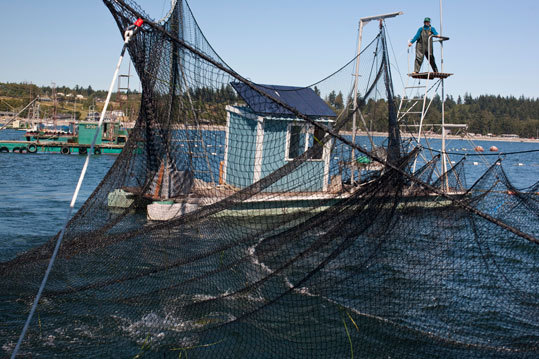 The gear is a system of anchored boats and nets used by Starks to catch sockeye and pink salmon.