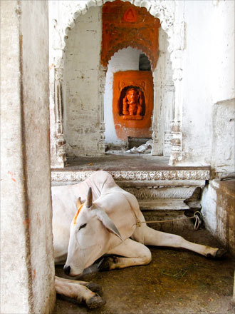 In Varanasi, a cow takes a break from the heat underneath a statue of the diety Ganesh.