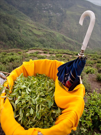 Fresh picked tea leaves and buds in a picker's basket in the hills of Darjeeling.