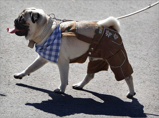 Eleven month old pug 'Gucci' is pictured wearing miniature traditional Bavarian 'Lederhosen.'