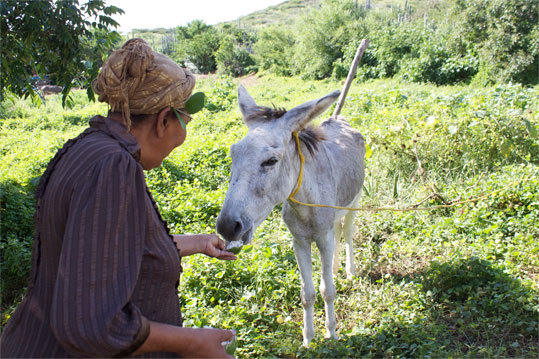 Dinah Veeris feeds a fresh calabash fruit to a donkey in her herb garden at Den Paradera.