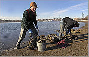 Clams dug up at Dorchester beach
