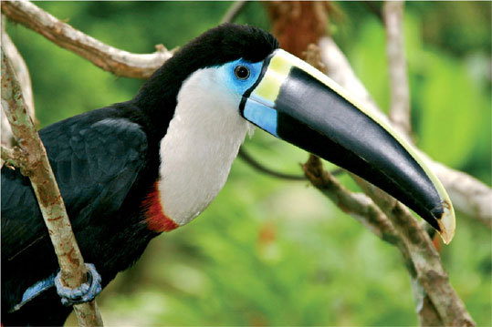 There are over 2,500 species of birds in the Amazon, and the colorful toucan is one of the most well known.