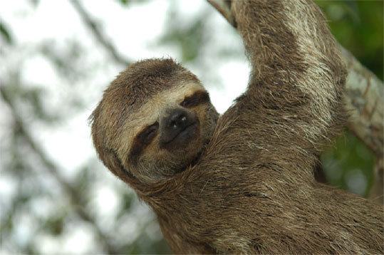 The three-toed sloth, which spends most of the day in a tree and eats only leaves.