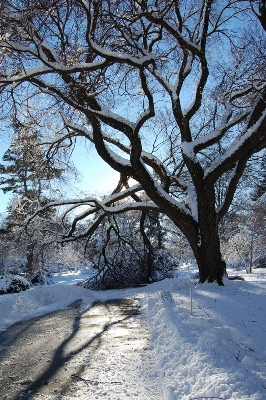 A winding tree cast shadows on a plowed walk way.