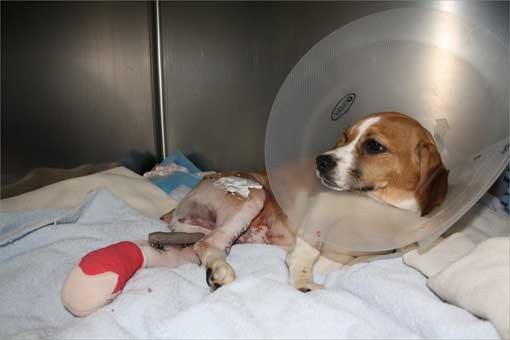 The puppy's owners rushed him to the Boston animal clinic, where veterinarians determined he would need extensive surgery to repair the damage to his hindquarters. His owners decided to give up Dino due to the large amount of care he would need as he heals.