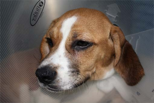"Dino's care will cost several thousand dollars, which will come from MSPCA-Angell's ""Spike Fund."" Information about donating to the fund is available at www.mspca.org/dino , Adams said. Dino faces months of rehabilitation and physical therapy after he recovers from his surgeries."