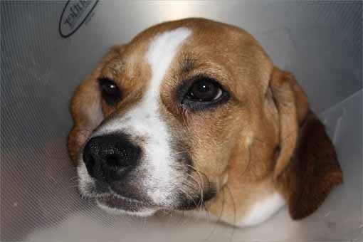 Feb. 2 Dino is a 5-month-old Beagle who was hit by a snowplow at the end of January, after escaping from his home in Milton.