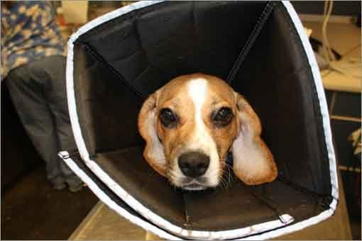 MSPCA-Angell staff members provided 24-hour foster care for the injured beagle.