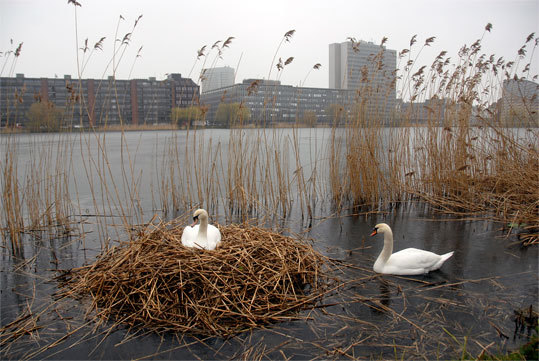 Two mute swans nest just 10 feet from a bike and pedestrian trail and across from office buildings in central Copenhagen. Copenhagen and Stockholm were ranked first and second, respectively, of 30 cities in the 2009 European Green Cities Index, compiled by the Economist magazine and Siemens, the global engineering conglomerate. Read: Saving urban areas for native birds and their habitats shows dedication to eco-friendly human life, too