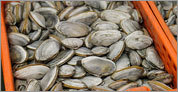 From beaches to Shellfish Purification Plant