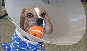 Dino the beagle recovers