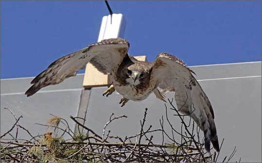 33 Oxford St. Harrison said onlookers are excited to see a nest being built at 33 Oxford St. It will be easier than at the Alewife nest for the chicks to walk a little and flap their wings, he said. Left: A hawk in flight on March 27.
