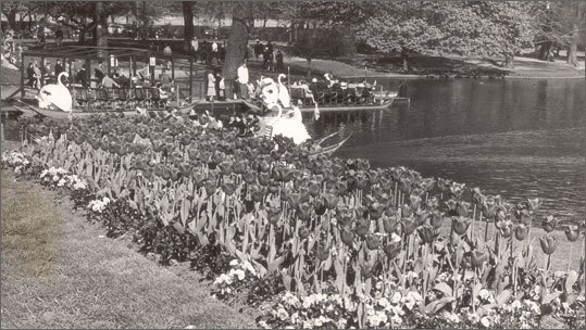 May 7 ,1951 The Swan Boats arrive for the season.