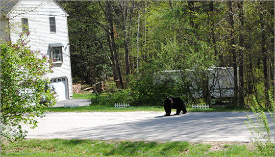 Merrimack Police Lieutenant Denise Roy said authorities have received 15 bear-related calls in the past three days.